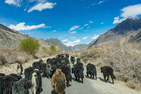 Wild yak walking the road on the way to turtuk of background mountain landscape against blue sky in Leh, Ladakh, India.