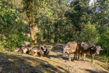 A group of water buffalo grazing in a clearing along the Mardi Himal trek. Machapuchare's peak looms in the distance. Фото со стока - 155997289