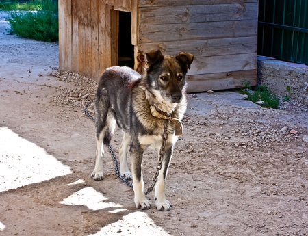 Dog on a chain facing the kennel photo