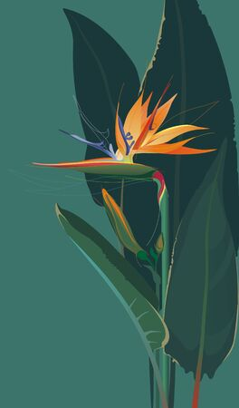 bird of paradise: Strelitzia, Bird Of Paradise Flower Illustration
