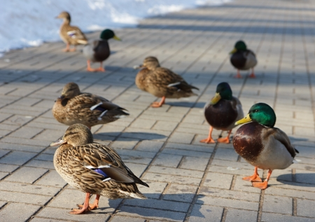 mated: Birds Mallard Duck on sidewalk  Shallow DOF