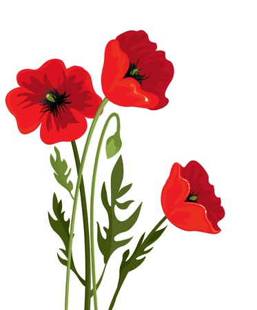 poppy flowers: Three poppies on a white background