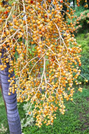 Areca Nut or Betel Nuts from Areca palm, Medium Shot in the Garden Stock Photo