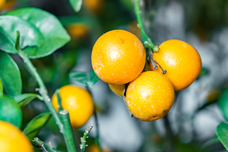 Fresh Mandarin Oranges fruit with leaves on Mandarin tree, Chinese New Year concept Banco de Imagens