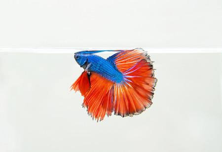 Siamese fighting fish photo