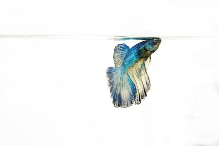siamese fighting fish: Siamese fighting fish Stock Photo