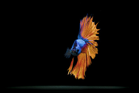 fire fin fighting: Siamese fighting fish Stock Photo