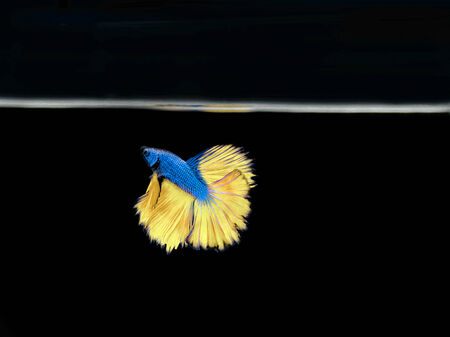 betta: Siamese fighting fish Stock Photo