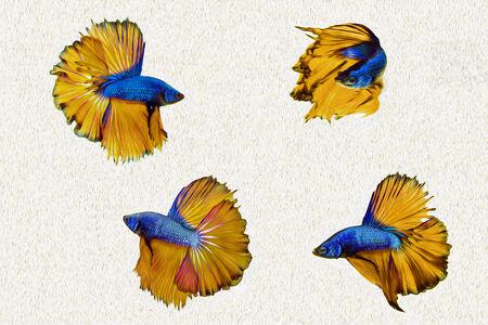 siamese: Siamese fighting fish Stock Photo