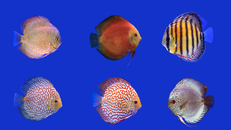discus fish: Combine six kinds of discus fish on blue background