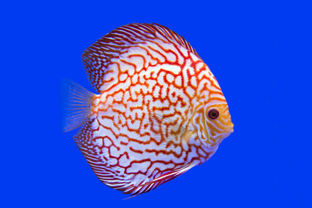 discus: Discus Fish, Stock Photo