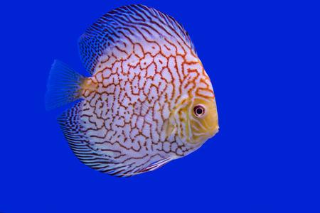 discus: Discus Fish, AlbinoTurquoise snake skin