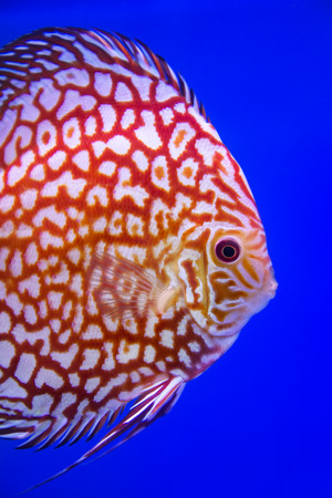 discus: Discus fish,Checkorboard turquoise Stock Photo