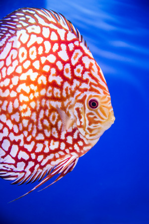 discus: Discus fish , Checkorboard turquoise close-up body in the tanks blue background Stock Photo