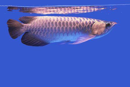 asian arowana: Arowana fish Stock Photo