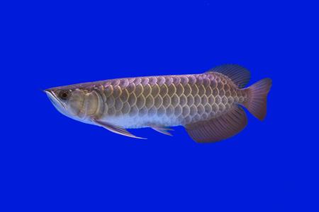 prehistoric fish: Arowana fish Stock Photo