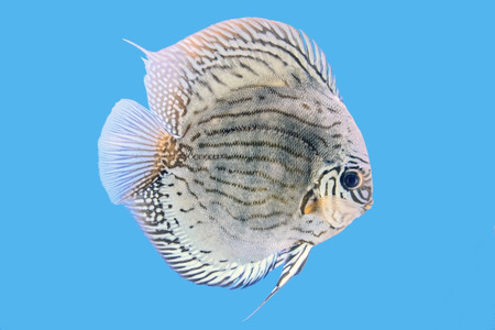 discus: Discus Fish,Golden Turquoise blue background