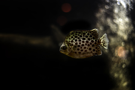 indo: Spotted scat fish, Scatophagidae
