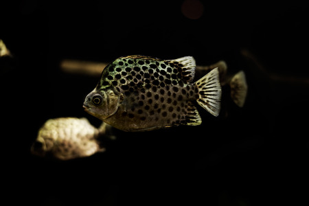 river fish: Spotted scat fish, Scatophagidae Thailand,river fish