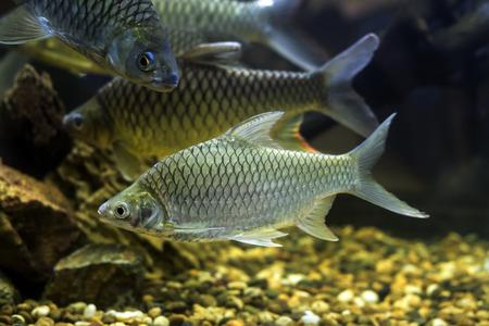 cyprinidae: Goldfish Cyprinidae group