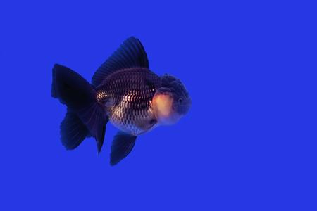 oranda: Gold fish Black Oranda blue background Stock Photo