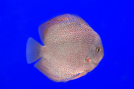 discus fish: Discus fish on blue background