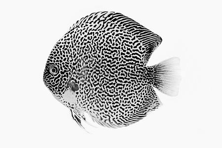 Discus fish snaks skin ,Thailand photo