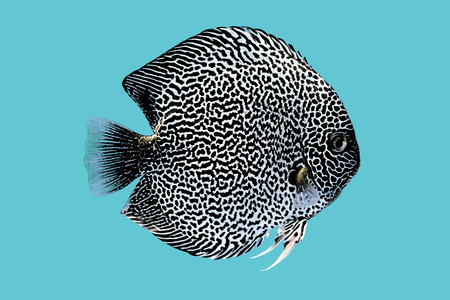 discus: Discus fish snaks skin ,Thailand Stock Photo