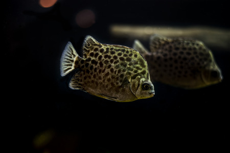 indo: Spotted scat fish, Scatophagidae Thailand,river fish