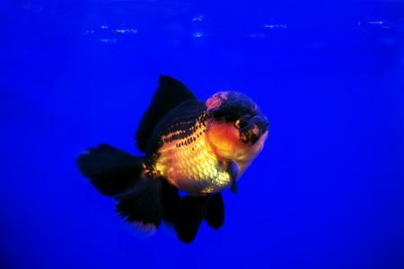 Gold fish Black-gold Oranda on Blue background