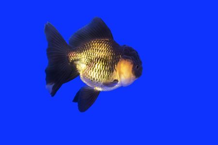 ranchu: Gold fish Black-gold Oranda on Blue background