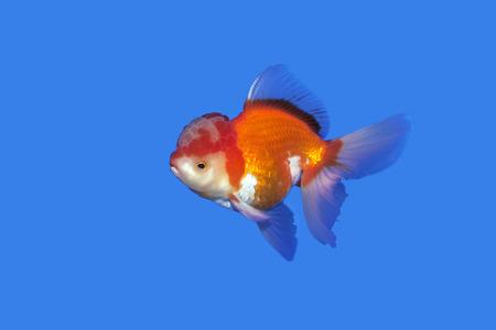 oranda: Goldfish red-gold oranda on blue background Thailand Stock Photo