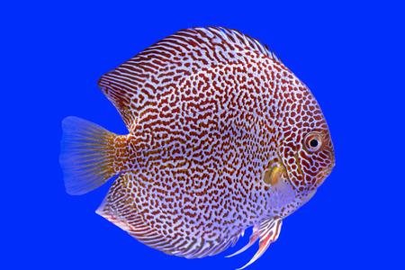 discus: Discus fish snaks skin ,Thailand Stock Photo