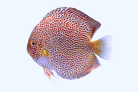Discus fish snaks skin ,Thailand Stock Photo