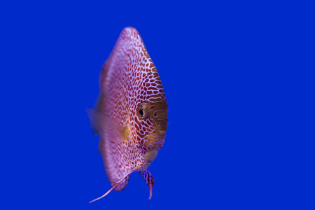 discus: Discus fish on blue background ,eyes  level view Stock Photo