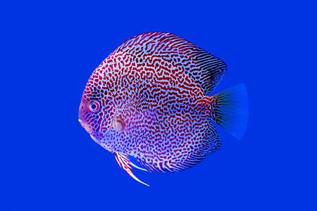 discus fish: Discus fish on blue background
