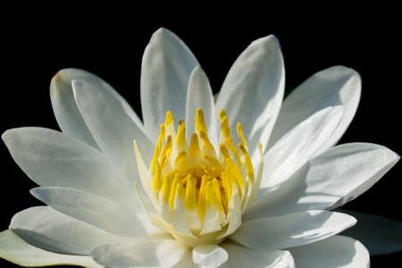 White Lotus ,water lily