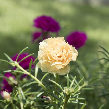 Pink Common Purslane, Verdolaga, Pigweed, Little Hogweed or PusleyFlower Stock Photo