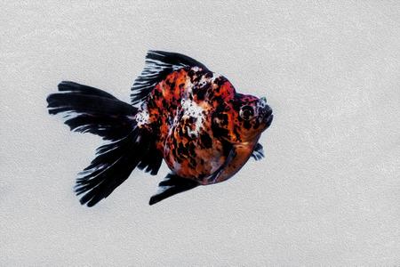Gold fish fancy Ryukin Stock Photo