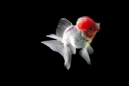 oranda: Gold fish red cap