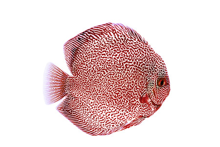 Discus fish on blue background