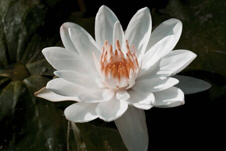 lilia: White Lotus ,water lily flower