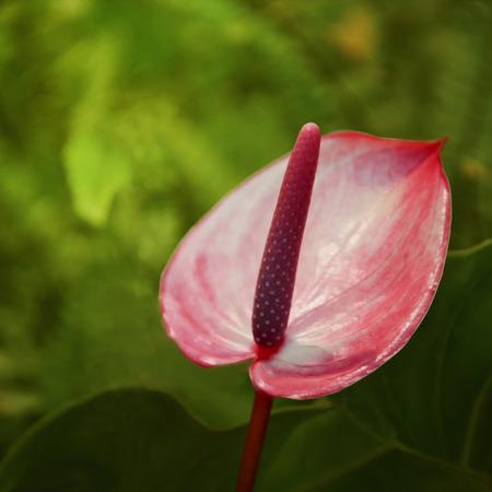 Red flower Flamingo Flower  Boy Flower illustrations