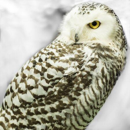 White face owl