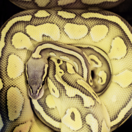 Close up of a python snake top view