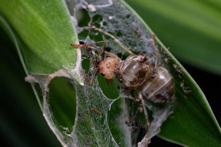 karkas: karkas van het insect