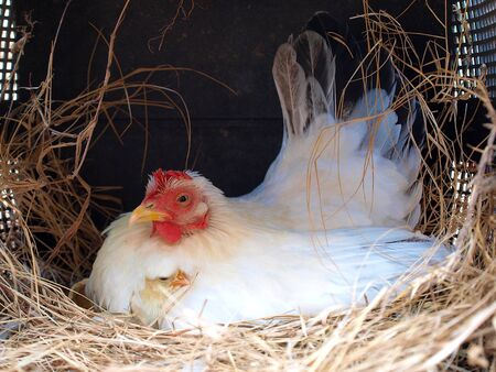 snug: newborn chicken and mom