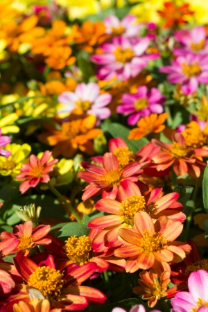 Zinnia flower photo