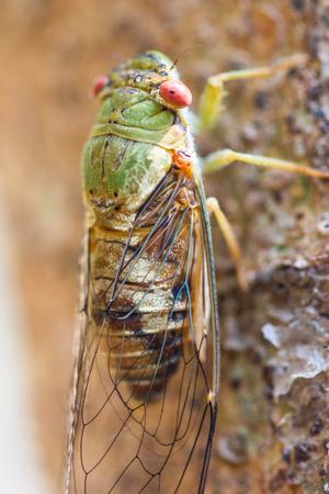 Cicada at waterfall in chiangrai thailand. photo