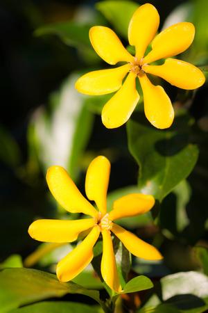 Gardenia carinata Wallich photo